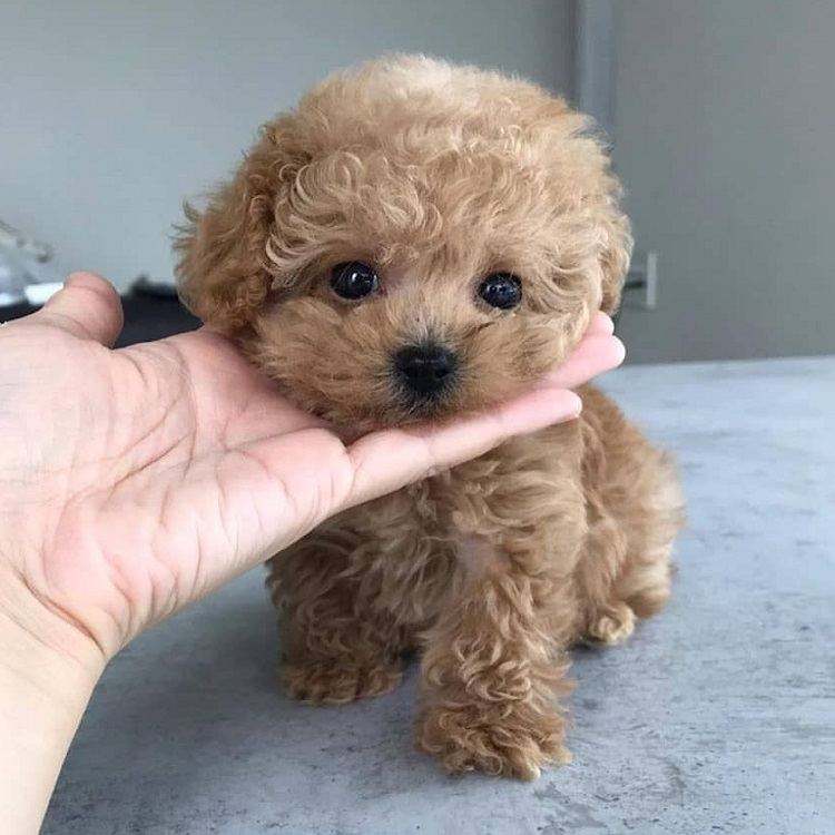 poodle puppies for sale in ohio