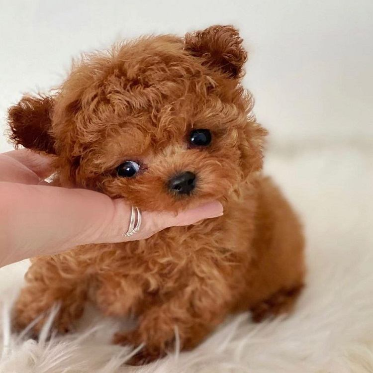 toy apricot poodle for sale