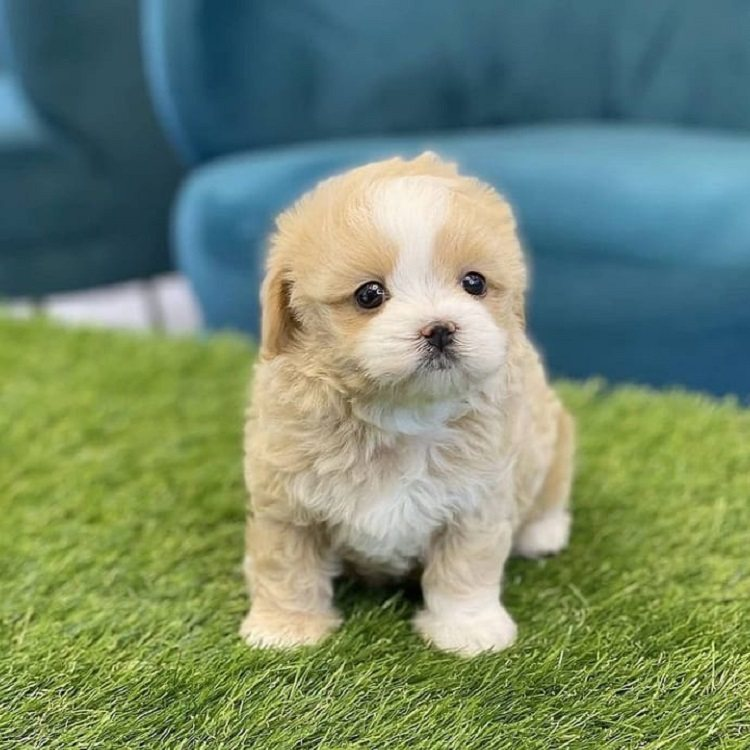 toy poodle puppy for sale near me